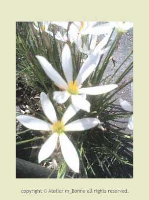 歩道脇に咲く白い花